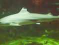 image of a shark swimming silently in the Sealife Centre aquarium