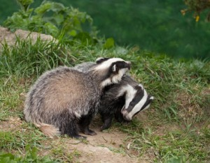 photo of two badgers