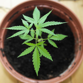 image of A cannabis plant (image supplied by photo agency)