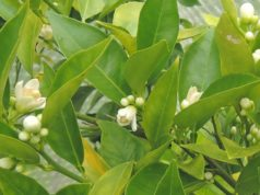 Orange citrus in flower in an unheated Sussex greenhouse in January