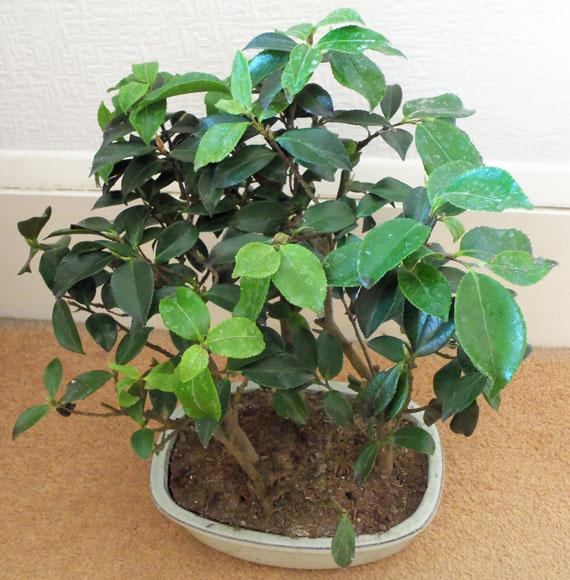 Dense foliage Camellia Bonsai plant