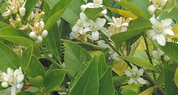 image of Citrus in bloom