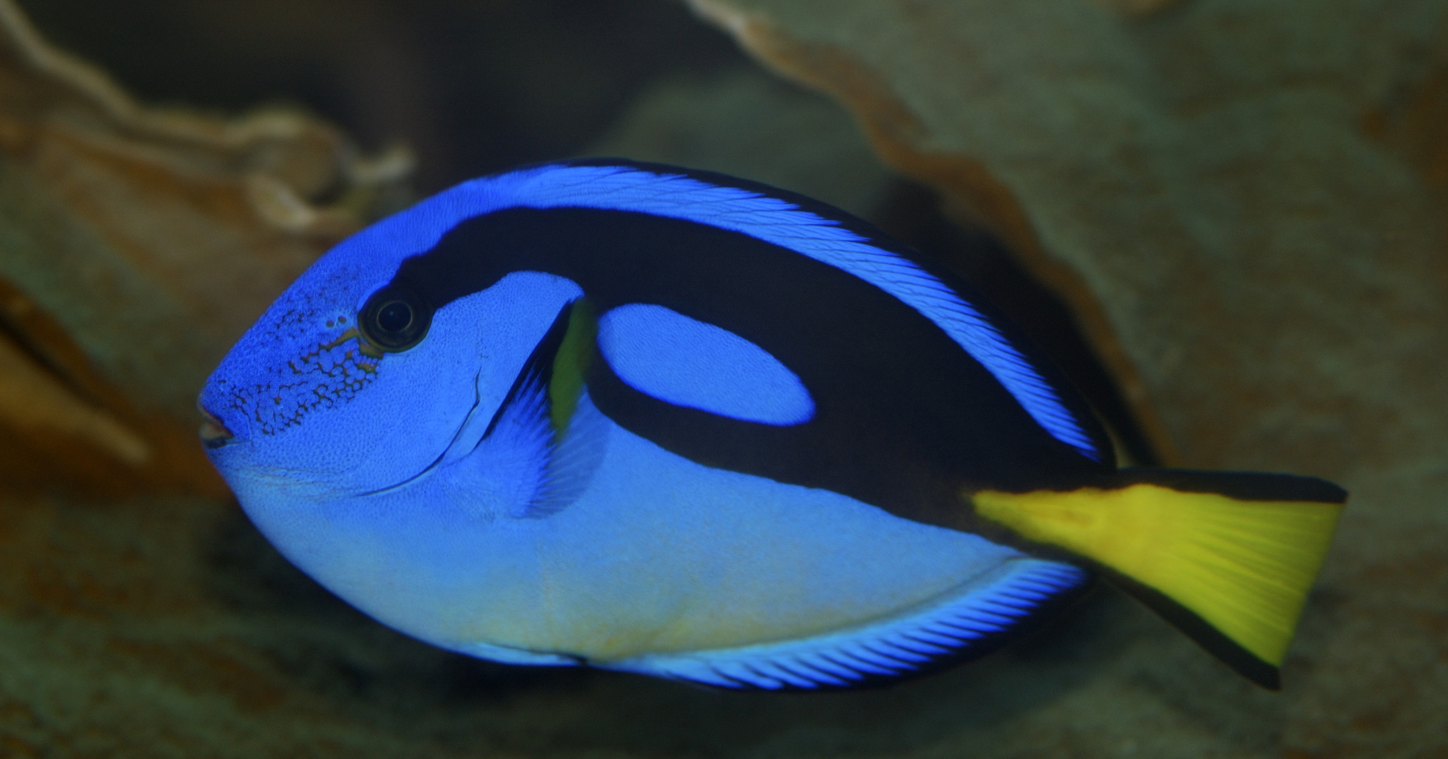 image of Regal Tang 'Secrets of the Reef'
