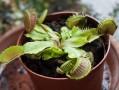 image of Venus Flytrap carnivorous plant